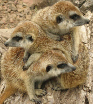 Meerkat Mashup