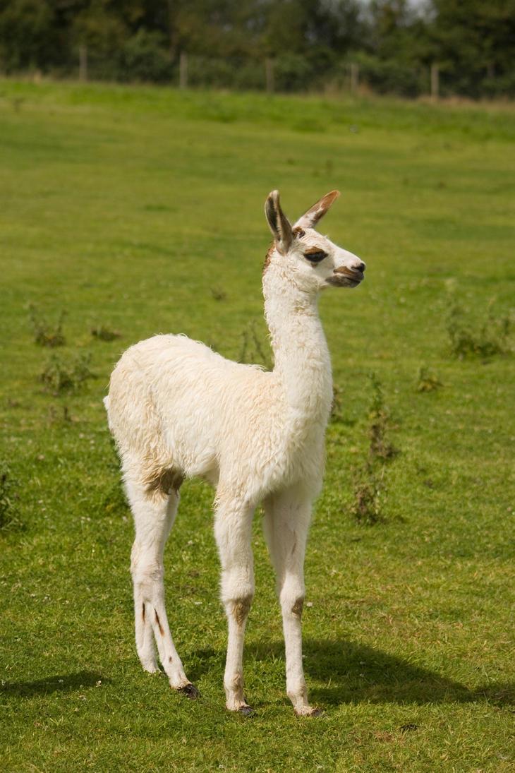 Llama stock by A68Stock