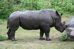 Rhinocerous stock