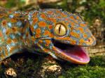 Tokay gecko stock