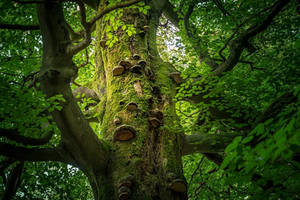 old beech tree by EmmmBeee