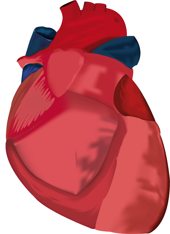 Human Heart Corazon Anatomico1 by EiriSaiyuki on DeviantArt