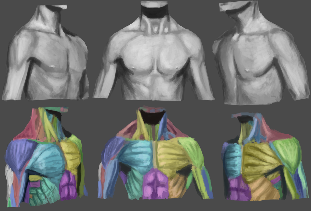 Male Chest Anatomy by AshenCinders on DeviantArt