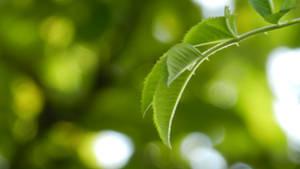 Green Leaf by coleg