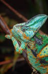 chameleon 0061