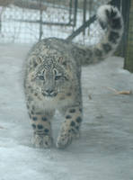 snow leopard cub 1986 by loveandtears