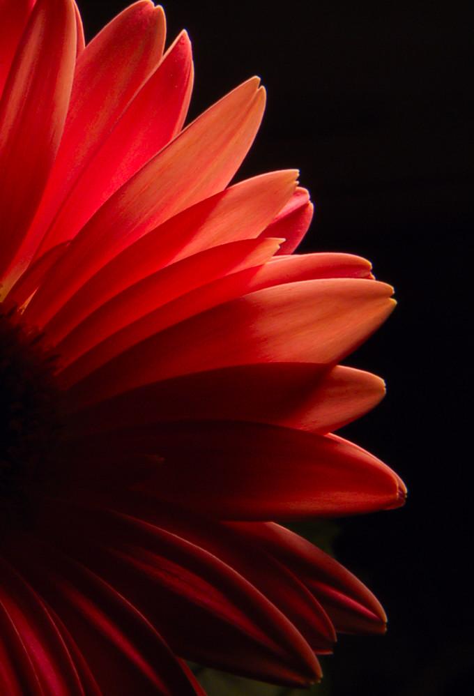 gerbera daisy by loveandtears