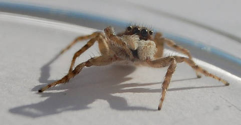 Daring Jumping Spider by SomeKindOfNobody