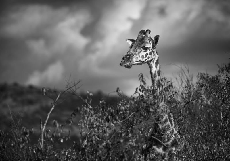 Masai Giraffe by dukeofspade