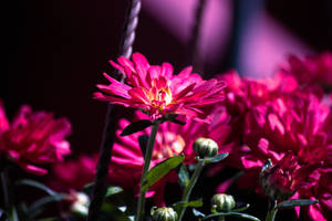 Pink Flowers by ciseaux