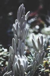 argentum succulent by ciseaux