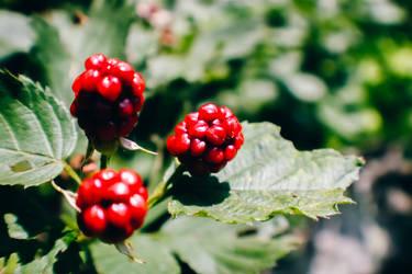 not yet blackberries by ciseaux