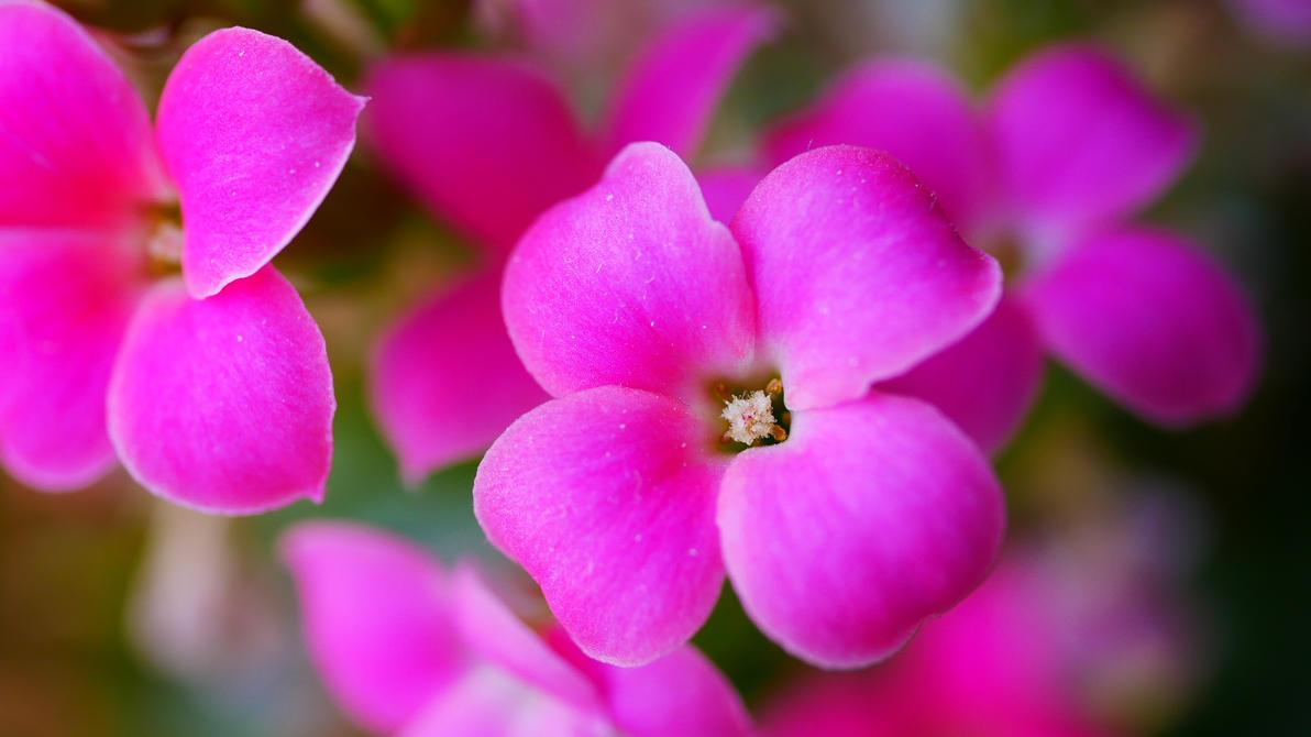 Pink Flowers 2 By Marigold95 On Deviantart