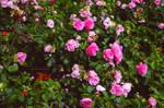 Roses by lunastar094