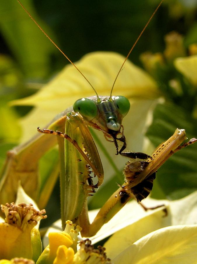 praying mantis by sasonian37