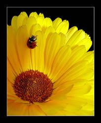 Calendula officinalis by sasonian37