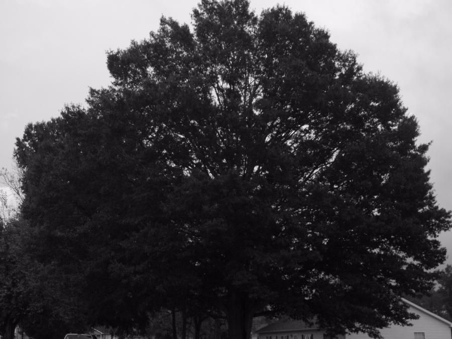 Willow Oak Nature S Aspirin