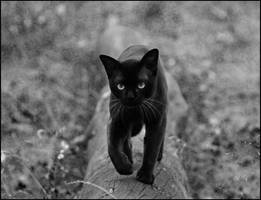 BW cat in forest by cougarLV