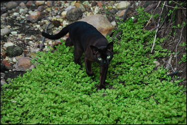 cat in wild5 by cougarLV