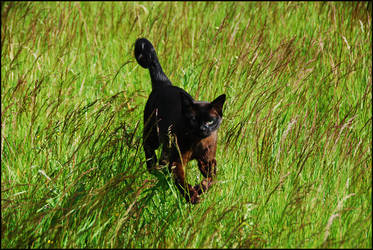 cat in wild7 by cougarLV