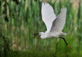 little egret on take off by Konczey-Zsolt