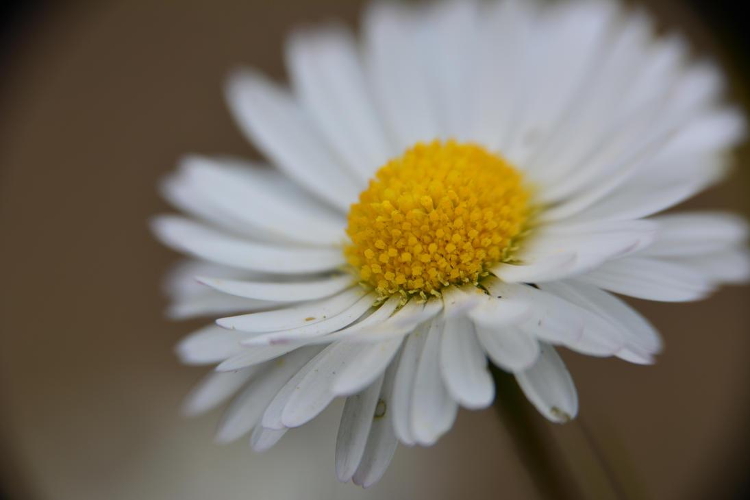 Daisy by VioletJester