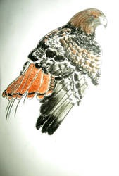 Red :3 Red-tailed hawk