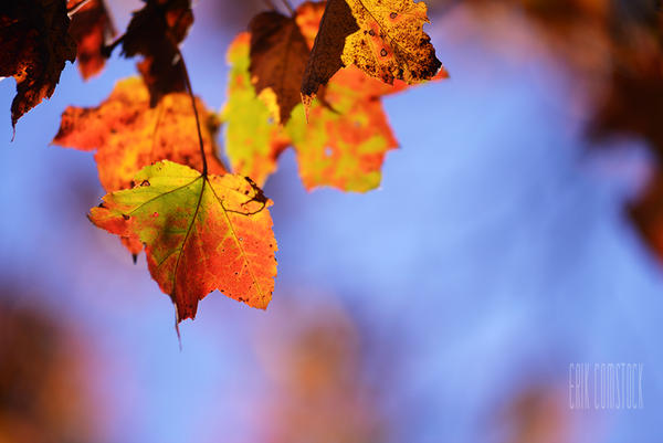 Fall Leaves!!! by MyTwistedThought