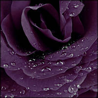 purple rain by cheshirecat84