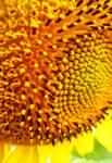Sunflower close up by jasmine111196