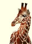 Pencil drawing. Giraffe