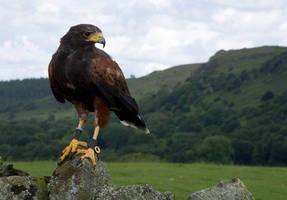 Harris Hawk by dark-angel-11309