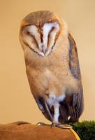 Barn Owl by dark-angel-11309
