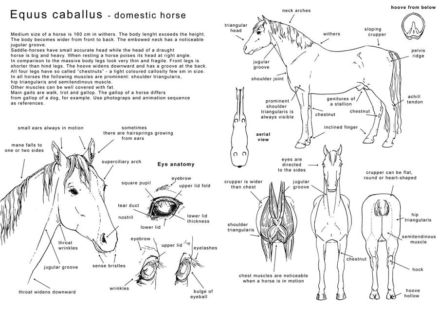 How to draw the horse 1 - Eng by Elruu on DeviantArt