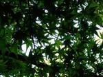 Otsu Maple Leaves