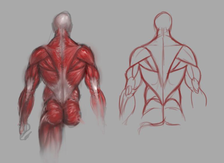 Back muscles study by GuillermoRamirez on DeviantArt