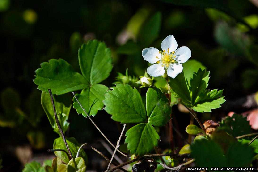 Strawberries in bloom by imonline