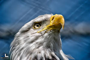 Bald Eagle by imonline