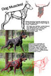 Dog Muscles