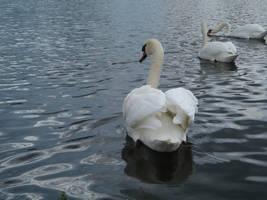 swan II by two-ladies-stocks