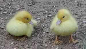 little ducks by two-ladies-stocks