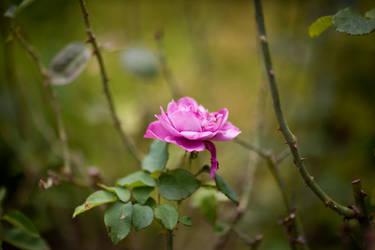 001 Dark Rose by MichelleRamey