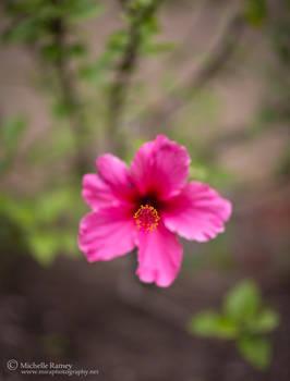 004 Hibiscus