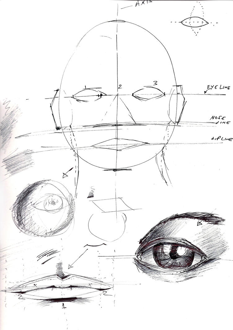 Human Face Proportions Human face proportions human Face Drawing Profile