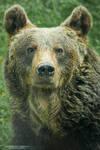 Eurasian Brown Bear by DominikaAniola