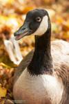Autumn Goose by DominikaAniola