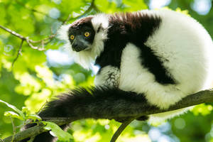 Black-and-white Ruffed Lemur by DominikaAniola