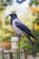 Hooded Crow by DominikaAniola