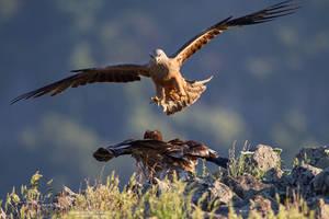 Black Kite vs young Egyptian Vulture