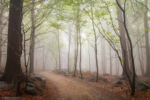 A Walk In The Foggy Forest